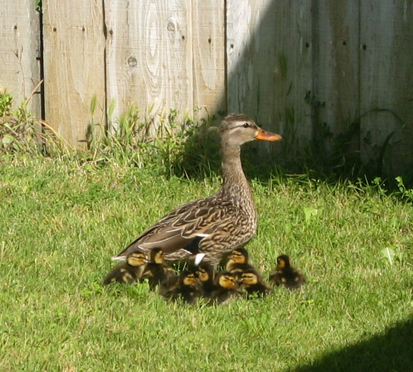 Speaking of Duck Tales, some ducks showed up in my front yard last week.