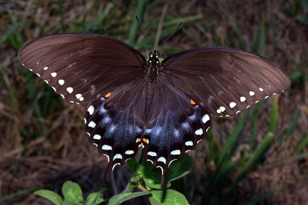 800px-Spicebush_Swallowtail_in_August